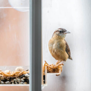 feed mealworms to birds