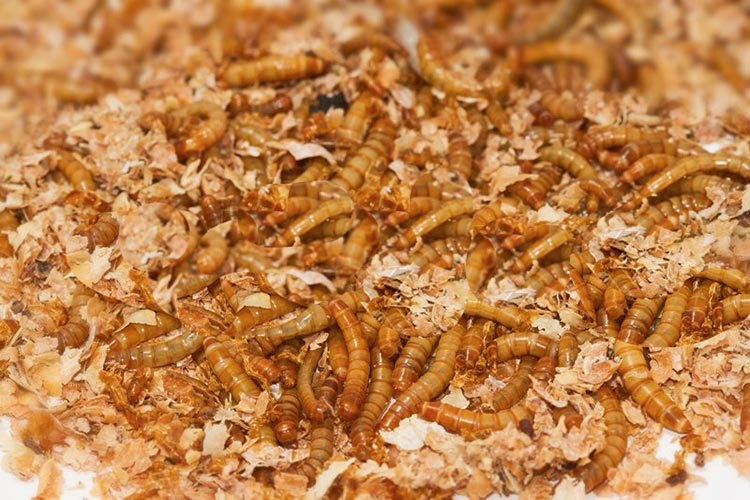 mealworm castings for sale
