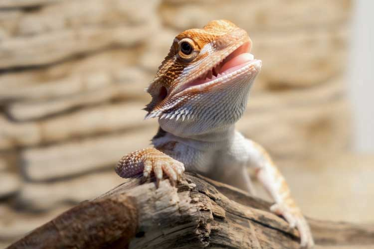 baby-bearded-dragon